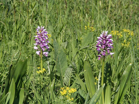 Im Frühjahr blühen auf dem Sonnenberg z. Bsp. Helmknabenkraut (Orchis militaris) und Zypressenwolfsmilch (Euphorbia cyparissias).