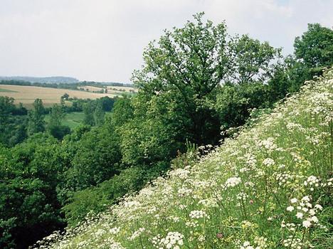 Halbtrockenrasen im Naturdenkmal 'Sonnenberg', Blühaspekt von Hirschhaarstrang (Peucedanum cervaria)