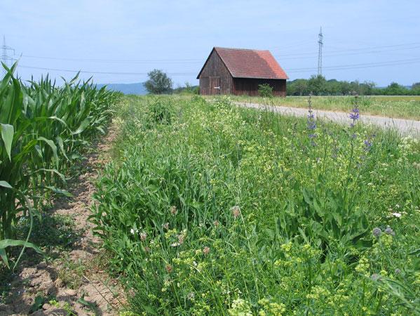 Biotopschutzstreifen tragen zum Erhalt der Lebensräume bei.