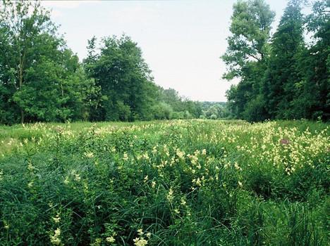 Hochstaudenflur im Naturdenkmal 'Kanalwiesen', Blühaspekt von Mädesüß und Blutweiderich (Filipendula ulmaria, Lythrum salicaria)