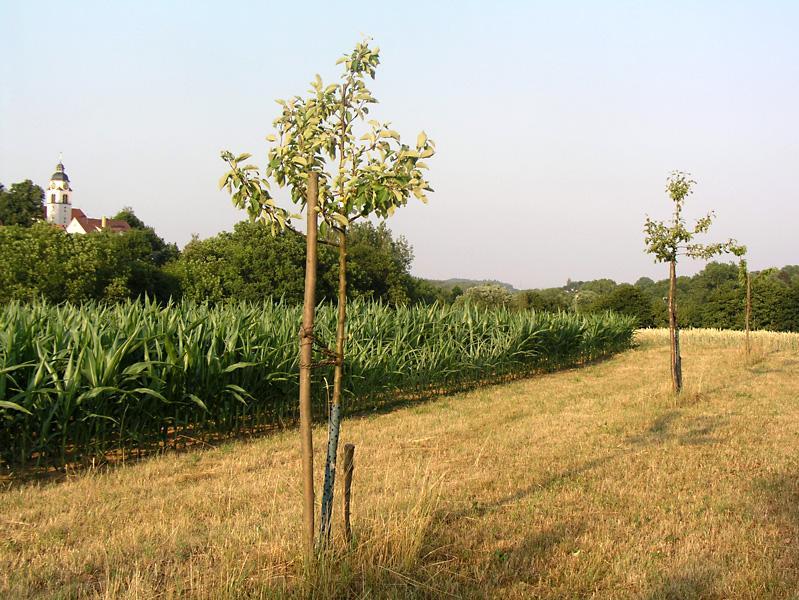 Das Nachpflanzen von hochstämmigen Obstbäumen trägt zu Erhalt und Verjüngung der Streuobstwiesen bei.